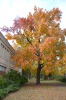 Tree with autumn leaves near Koch Hall.